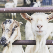 Tracking the Health of a Goat Herd with RFID