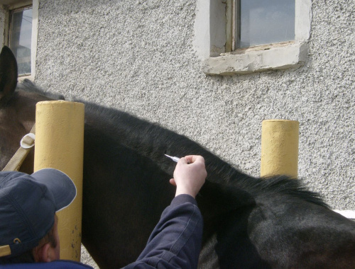 horse getting microchipped